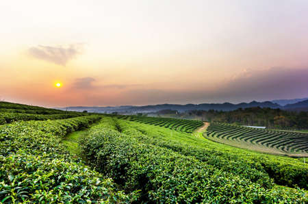 Sunset view of tea plantation landscape at Chiang rai, Thailand. Stock Photo