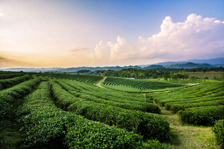 Tea plantation landscape at sunset, chiangrai Thailand Banco de Imagens