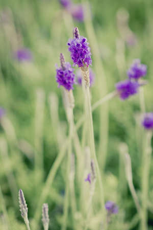 Closeup of purple lavender flowers in the field photo