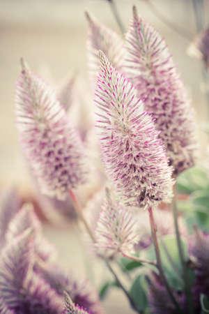 joey: Beautiful ptilotus exaltatus (Joey) flowers in garden