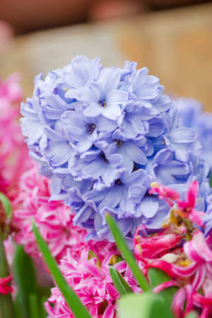 hyacinthus: A group of purple or blue hyacinthus flowers in garden Stock Photo