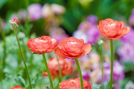 persian buttercup: Persian buttercup flowers (ranunculus flower) in garden