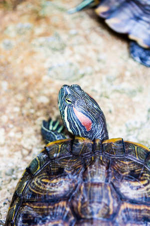 eared: One Pond Red eared slider turtle