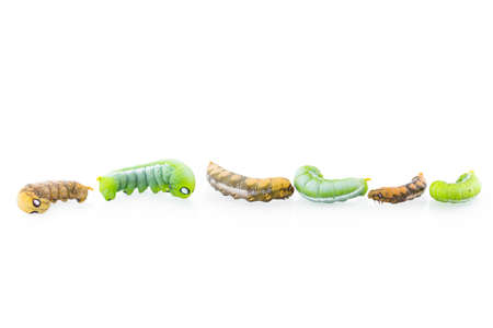 inchworm: collection of six worms in action isolated on white background