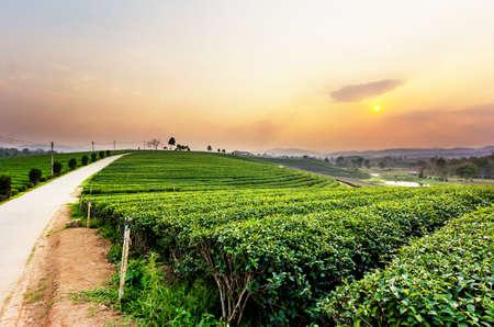 green land: Sunset view of tea plantation landscape at Chiang rai, Thailand. Stock Photo