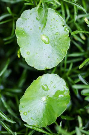 asiatica: Water drop on centella asiatica (gotu kola).