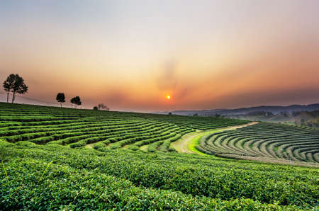 Sunset view of tea plantation landscape at Chiang rai, Thailand. Banco de Imagens