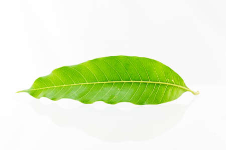tree detail: A mango leaf on a white background. Stock Photo
