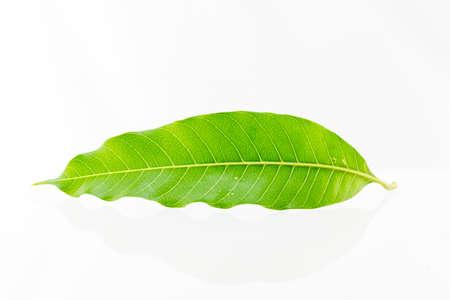 mango: Liści mango na białym tle. Zdjęcie Seryjne