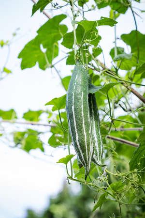 gourds: Snake gourds in vegetable garden Stock Photo