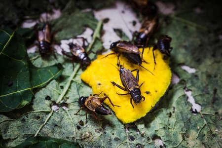 darning needle: Closeup field Cricket eating pumpkin, Wild life animal.