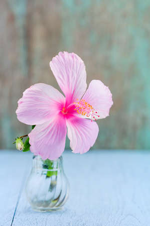 hibiscus: Pink hibiscus flower in glass bottle on blue table Stock Photo