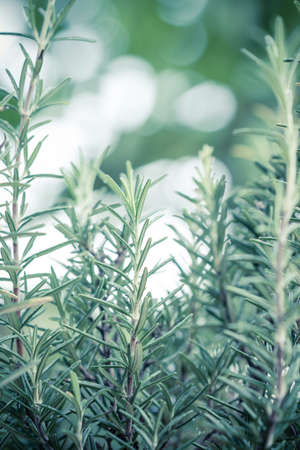 graden: Fresh rosemary herb growing (Rosmarinus Officinalis) in graden Stock Photo