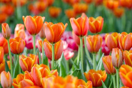 tulipan: Blooming spring flowers tulips in the garden