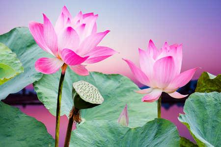 일몰에 피는 아름다운 분홍색 연꽃