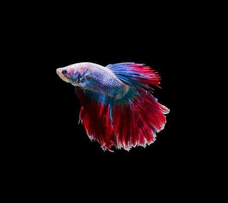 capture the moment: Capture the moving moment of siamese fighting fish isolated on black background. Betta fish