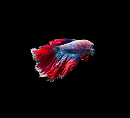 capture the moment: Capture the moving moment of siamese fighting fish Stock Photo