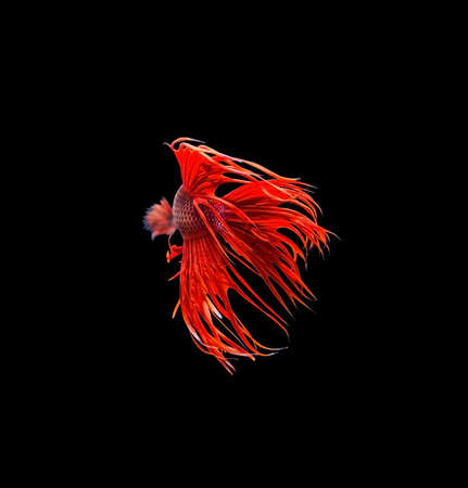capture the moment: Capture the moving moment of red siamese fighting fish (Betta splendens) isolated on black background.
