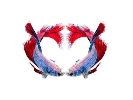capture the moment: Capture the moving moment of white siamese fighting fish , betta isolated on white background. Stock Photo
