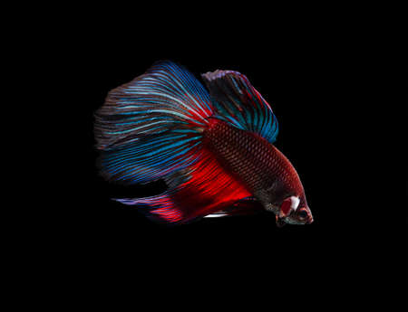 capture the moment: Capture the moving moment of siamese fighting fish (Betta splendens) isolated on black background.