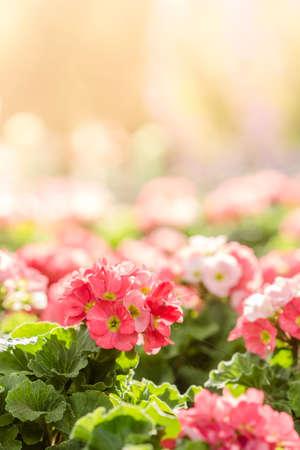 spring flowers: primula flowers. spring flowers primrose in garden