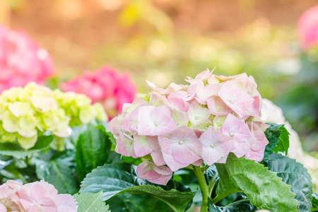 hydrangea macrophylla: Hydrangea flower (Hydrangea macrophylla) in a garden Stock Photo