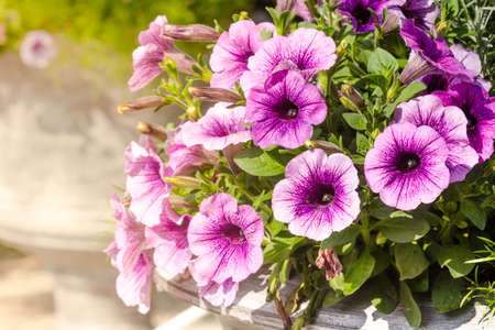 Hanging flower baskets stock photos royalty free hanging flower purple petunia flowers in the garden in spring time stock photo mightylinksfo