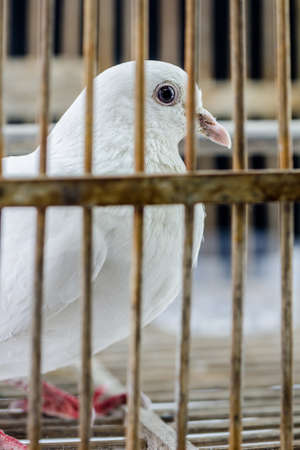 locked in: White dove in the cage, Pigeon locked in a cage.