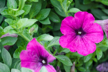 flower arrangements: purple petunia flowers in the garden in Spring time Stock Photo