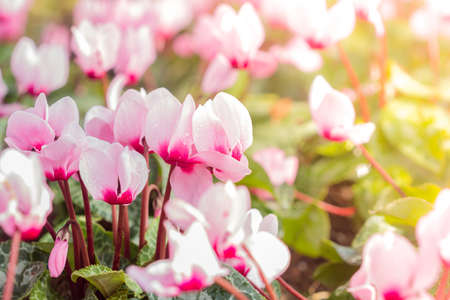 sowbread: Close up of colorful variegated cyclamen flowers Stock Photo