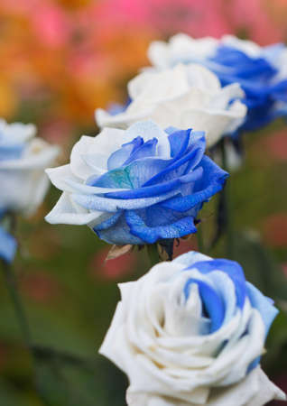 blue roses: Beautiful white and blue roses in flower garden