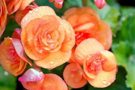 tuberous: Numerous bright flowers of tuberous begonias (Begonia tuberhybrida) in garden