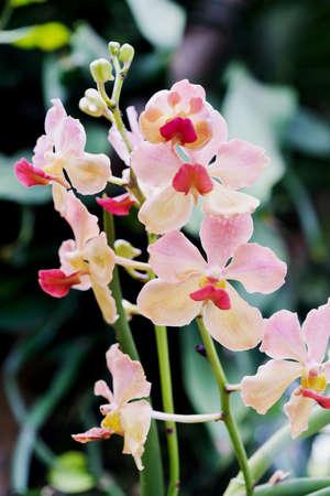 graden: Closeup pink orchid flowers in a graden