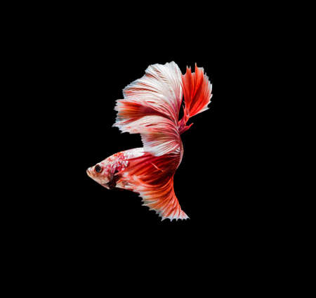 splendors: Capture the moving moment of red siamese fighting fish , betta isolated on black background.