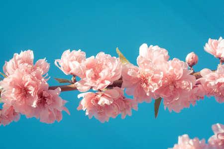 flor de sakura: Flor de cerezo Sakura o flor en el fondo de la naturaleza Foto de archivo