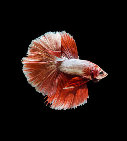 aquarium hobby: Capture the moving moment of red siamese fighting fish , betta isolated on black background.