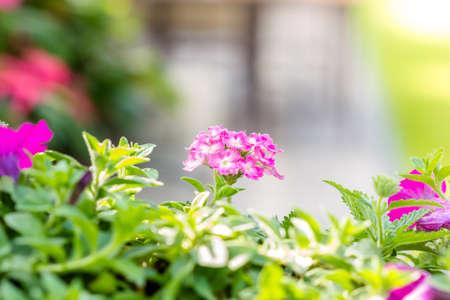 lantana: Beautiful pink hedge flower, Weeping lantana, lantana camara Linn in the garden