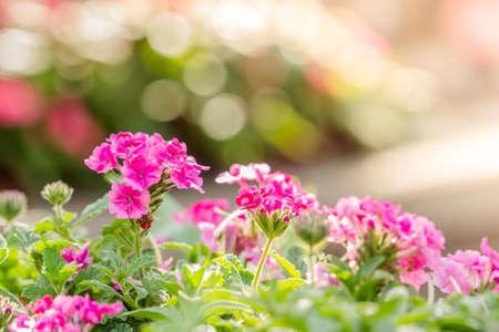 lantana camara: Beautiful pink hedge flower, Weeping lantana, lantana camara Linn in the garden