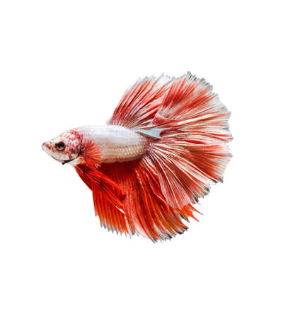 capture the moment: Capture the moving moment of red siamese fighting fish , betta isolated on black background.