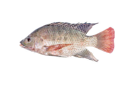 white nile: Fresh tilapia or nile tilapia fish isolated on white background