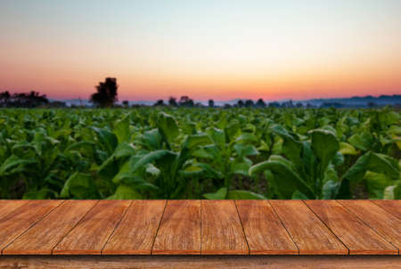 Empty wooden table and blur Tobacco field background - can used for display or montage your products