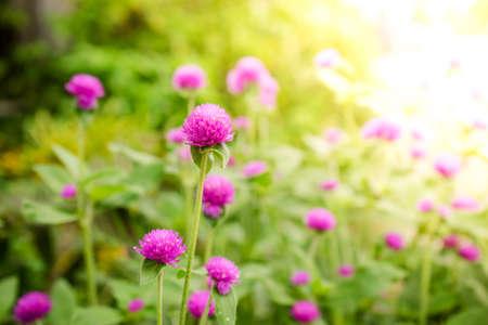 globosa: Globe amaranth or Gomphrena globosa flower in the garden