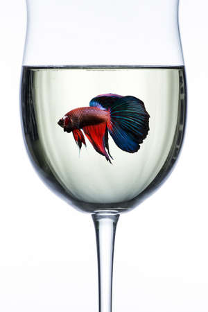 Red Blue halfmoon fighting fish in wine glass Banco de Imagens