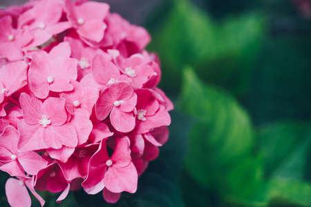 庭のあじさいの花 (アジサイ)
