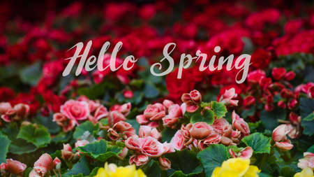 Hello Spring Lettering with Numerous bright flowers of tuberous begonias (Begonia tuberhybrida) in garden