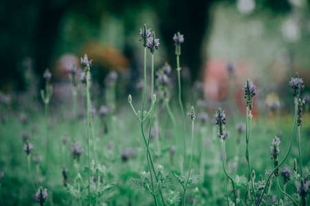 Lavender flower - Beautiful lavender flower in The garden