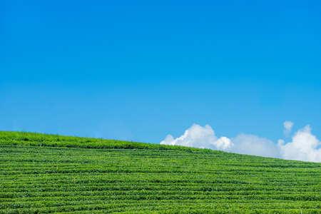 tea plantation landscape on blue sky at Chiang rai, Thailand.