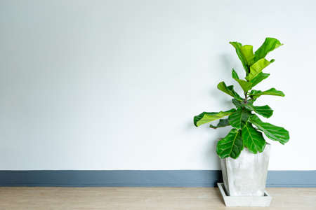 fiddle leaf fig tree in the cement pot. Stock Photo