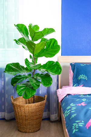 Fiddle leaf fig tree in the bedroom.