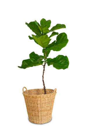 Potted Ficus Larata or Fiddle Leaf Fig Tree Isolated on White Background. Standard-Bild